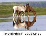 Two Wild Beautiful Horses...