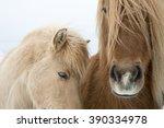 Portrait Of Icelandic Horses...