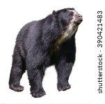 andean bear  tremarctos ornatus ... | Shutterstock . vector #390421483