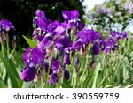 Beautiful Blue Irises Blooming...