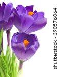 Crocus Flower In The Spring...