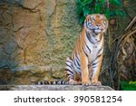 the royal tiger in the zoo. | Shutterstock . vector #390581254