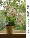 Plant Pot With Moth Orchid In...