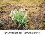 delicate snowdrop flower is one ... | Shutterstock . vector #390685444