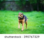 Stock photo dog running with a stick in his mouth 390767329