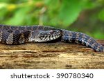 Northern Water Snake In The...