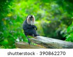 Wild Lion Tailed Macaque