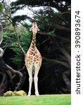 giraffe standing on the grass... | Shutterstock . vector #390893674