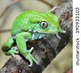 Waxy Monkey Leaf Frog...