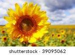Sunflower on the  sunflowers field - stock photo