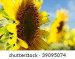 Sunflowers on the  sunflower field - stock photo