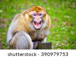 Angry Barbary Macaque Monkey ...