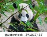 cute panda bear eating bamboo | Shutterstock . vector #391011436