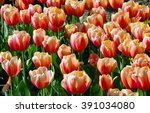 Beautiful Red And Yellow Tulip...