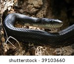 Black Rat Snake  Elaphe...
