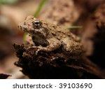 Small photo of Blanchard's Cricket Frog (Acris crepitans blanchardi)