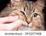 Stock photo red fluffy cat and the hand of the hostess 391057408