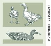 duck. vector images in engraved ... | Shutterstock .eps vector #391086064