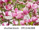 bloomy magnolia tree with big... | Shutterstock . vector #391146388