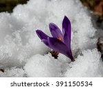 Violet Crocuses Have Struggled...