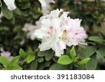 Bunch Of White Azalea Flowers...
