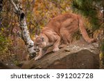 Adult Male Cougar  Puma...