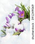 Purple Crocus Flowers On A...