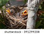 3 Baby Noisy Miner Birds...
