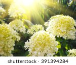 Beautiful White Hydrangea ...