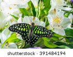 Butterfly Graphium Agamemnon O...