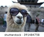 Stock photo alpacas 391484758