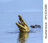 Small photo of Nile crocodile in Kruger national park, South Africa ; Specie Crocodylus niloticus family of Crocodylidae