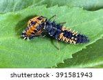 Ladybug Larva  Harmonia ...