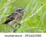 little bird oenanthe | Shutterstock . vector #391602580