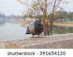 Chubby Pigeon
