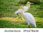 Cattle Egrets  A Couple Of...