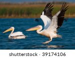 american white pelican taking... | Shutterstock . vector #39174106
