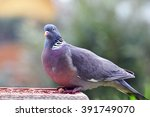 Curious Feral Pigeon.