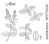 set of hand drawn mint branch ...   Shutterstock .eps vector #391772224