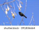 Male Red Winged Blackbird...