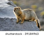 Arctic Ground Squirrel  ...