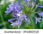 agapanthus africanus  blue... | Shutterstock . vector #391883518