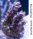 Small photo of Reef Raft Yakuza Acropora Coral