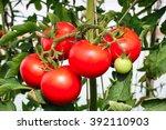 tomato plant in greenhouse | Shutterstock . vector #392110903