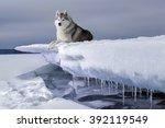 Dog Breed Siberian Husky In Th...