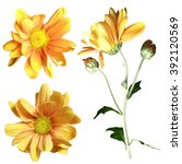 Stock photo yellow chrysanthemum on a white background isolated 392120569