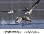 Greylag Goose Flight Over A Lake