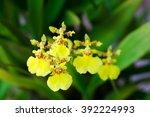 Oncidium Orchid Flowers ...