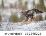 Golden Eagle In Norway ...