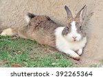 Cottontail Bunny Rabbit On...